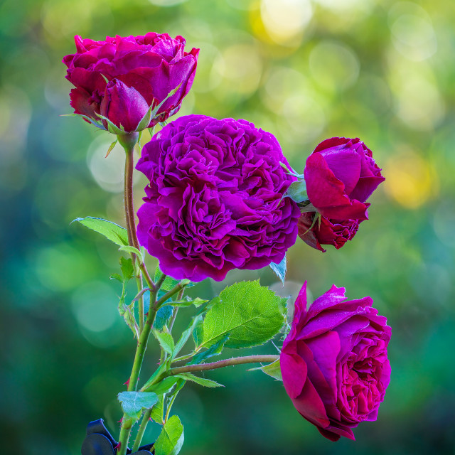 """Purple Roses"" stock image"