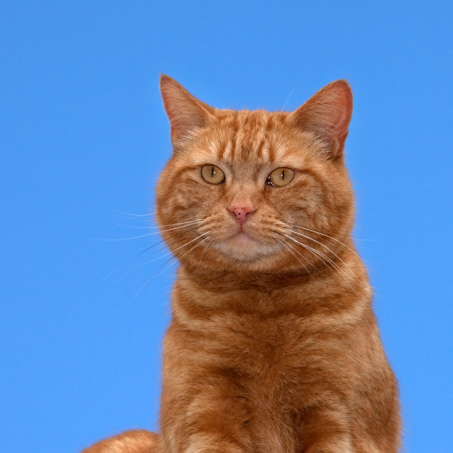 """Ginger Tomcat"" stock image"