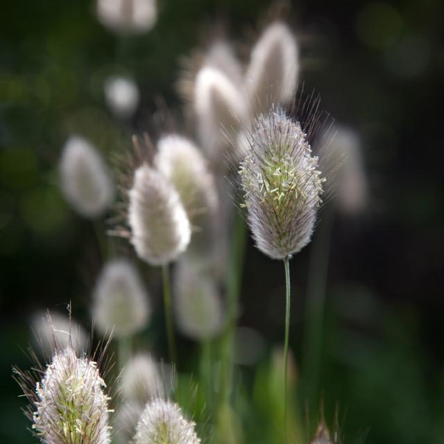 """Grass in flower"" stock image"