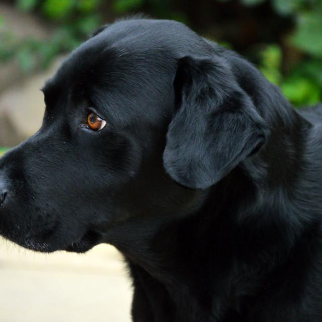 """Labrador 2"" stock image"