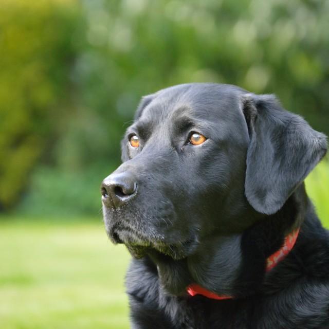 """Labrador 3"" stock image"