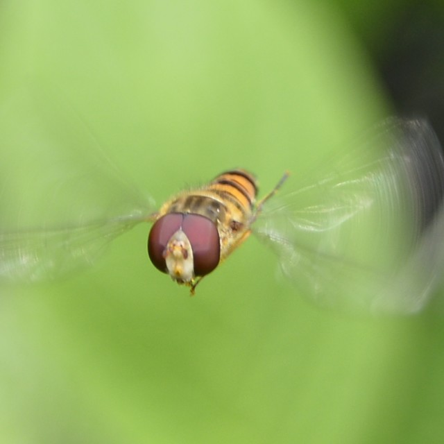 """Hovering fly"" stock image"