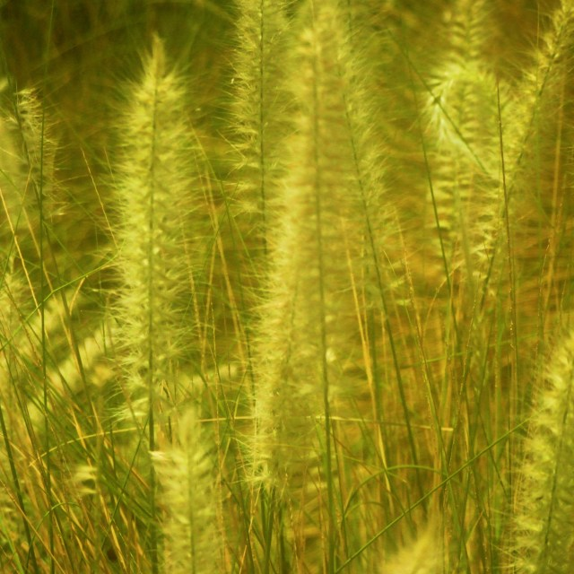 """Reeds"" stock image"