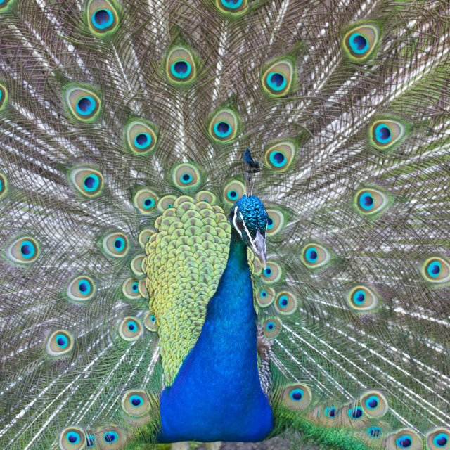 """Indian Peafowl"" stock image"