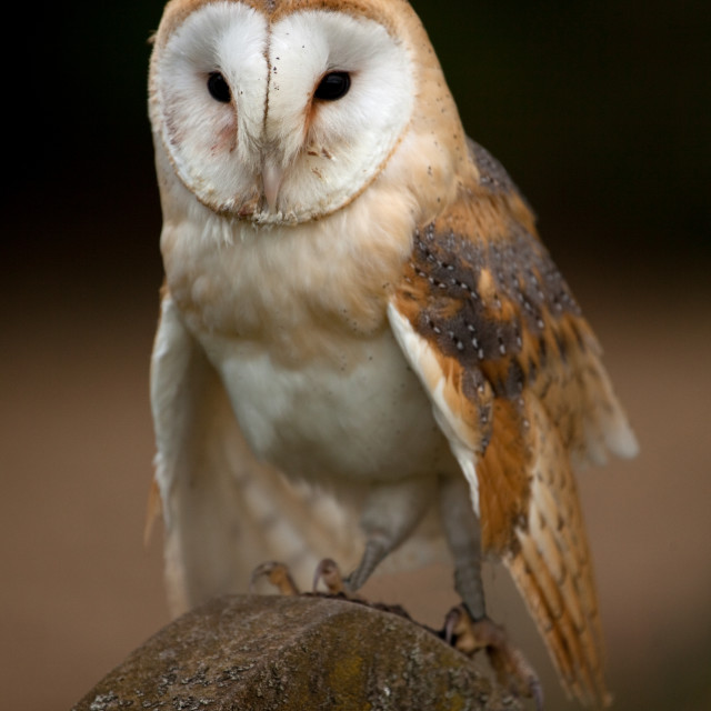 """Barn Owl perched on a gravestone"" stock image"
