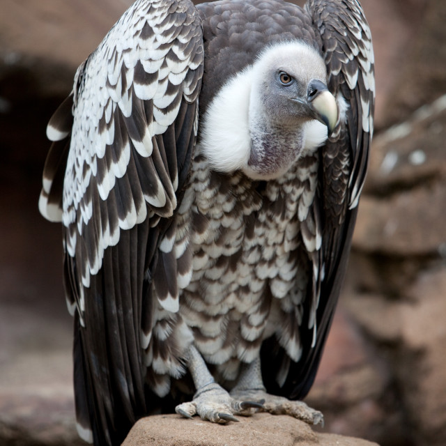 """""""Griffin Vulture on Rock"""" stock image"""