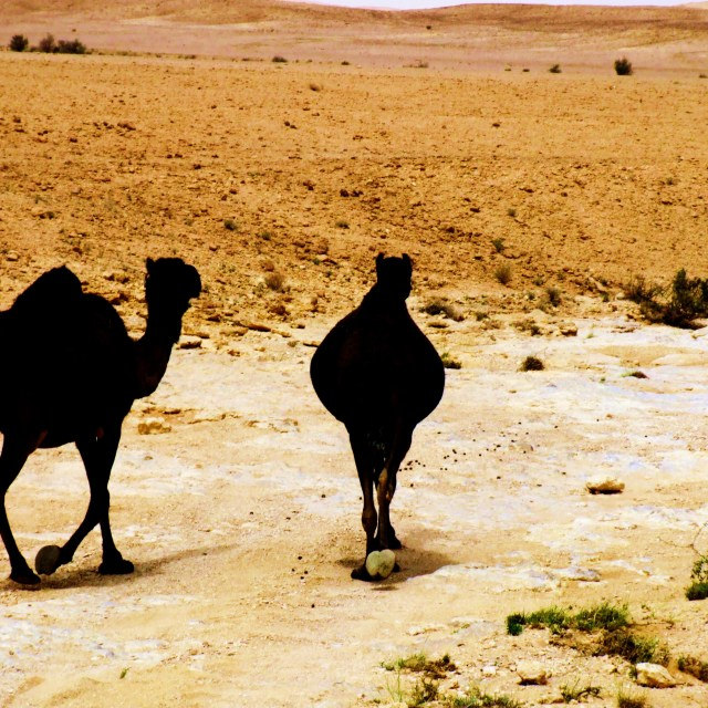 """""""Camels"""" stock image"""