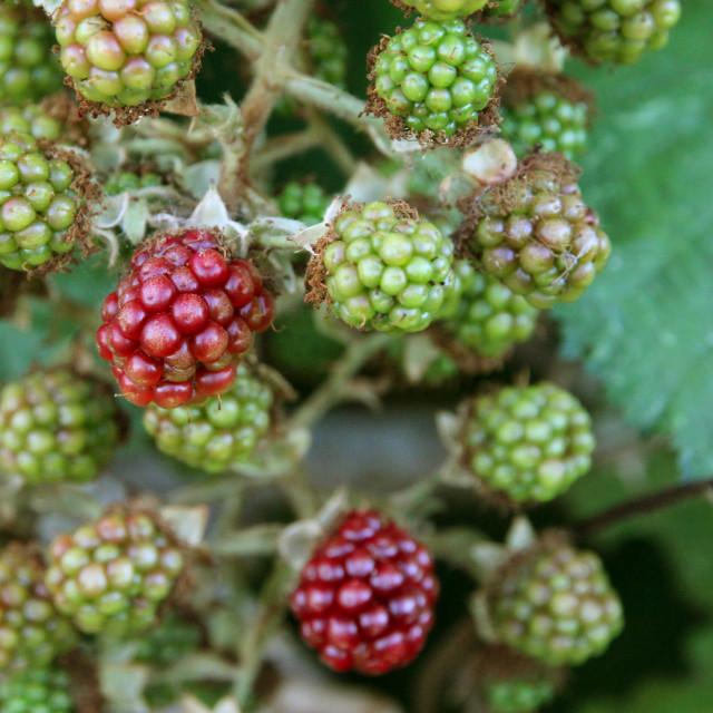 """""""Wild summer berries"""" stock image"""