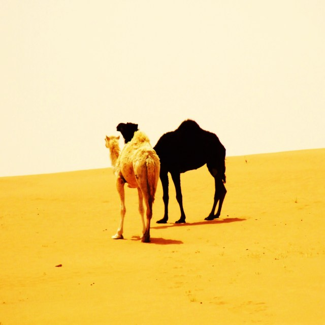 """Camels in the Dunes"" stock image"
