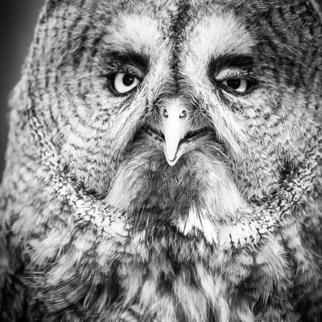 """Great Grey Owl in B & W"" stock image"
