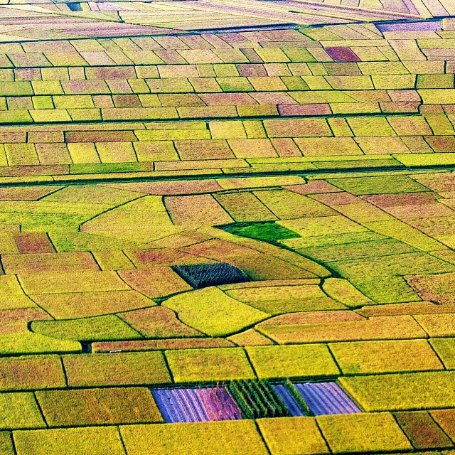 """Rice fields"" stock image"