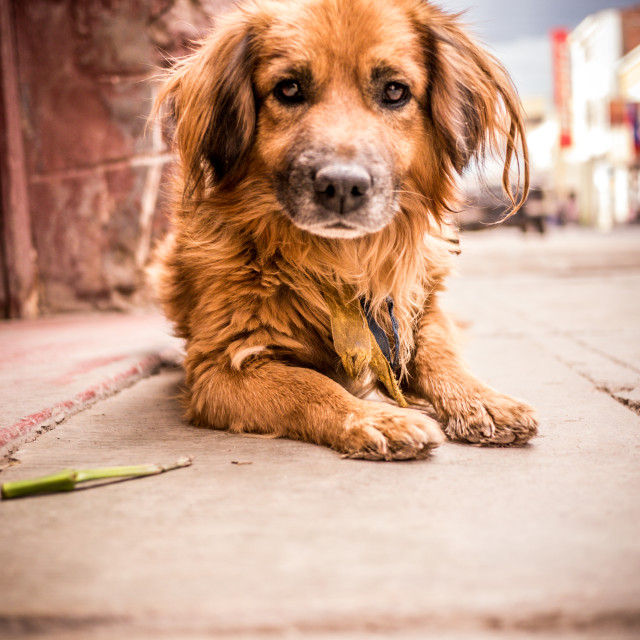 """Honorable Bolivian Street Dog"" stock image"