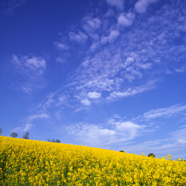 """Yellow Rape, Blue Sky"" stock image"