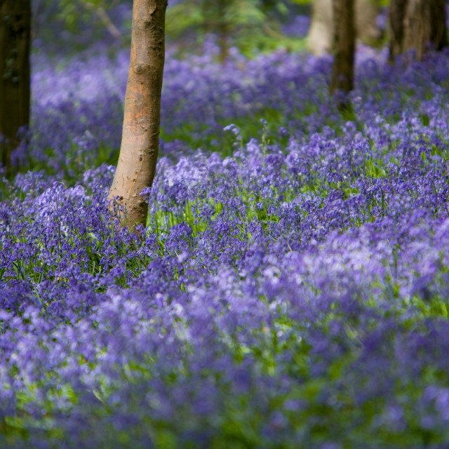 """Bluebell Glade-1"" stock image"