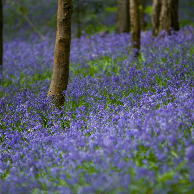 """Bluebell Glade-2"" stock image"