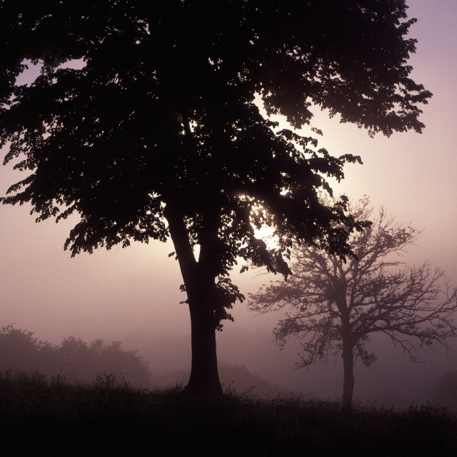 """Trees on a Misty Morning"" stock image"
