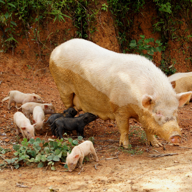 """Pig family"" stock image"