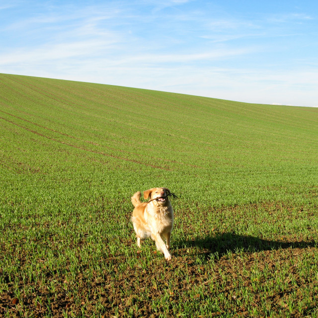 """Golden Retriever on a green field"" stock image"