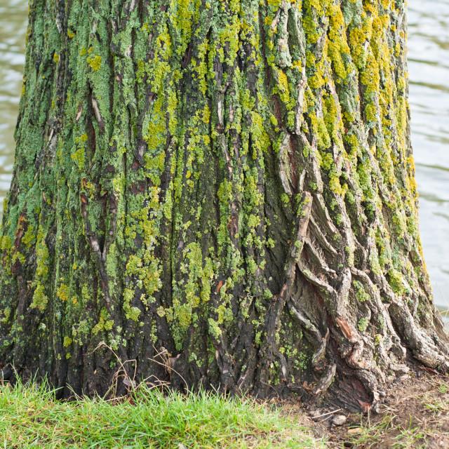 """Closeup of mossy tree trunk"" stock image"
