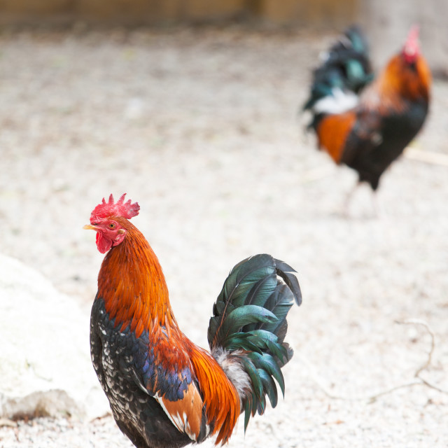 """Roosters or cockerels in a yard"" stock image"