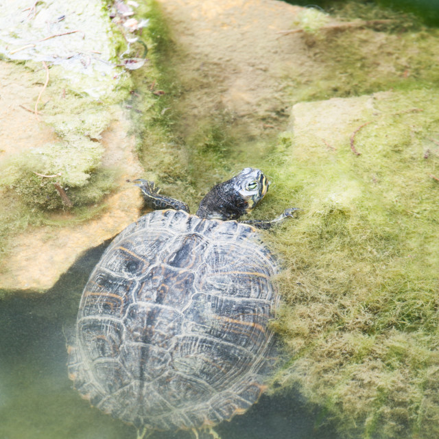 """""""Turtle crawling out of water"""" stock image"""