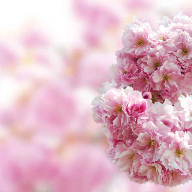"""""""Japanese cherry blossoms"""" stock image"""