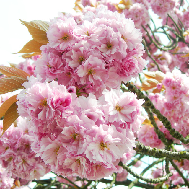 """""""Pink Japanese cherry blossoms"""" stock image"""