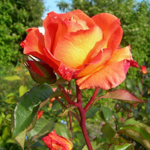 """Orange Rose in Garden"" stock image"
