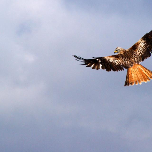 """Red Kite"" stock image"