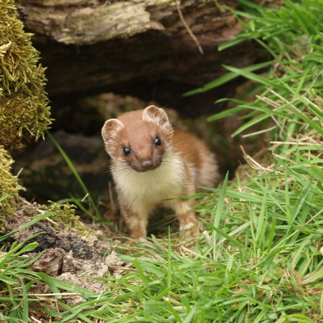 """The Stoat"" stock image"