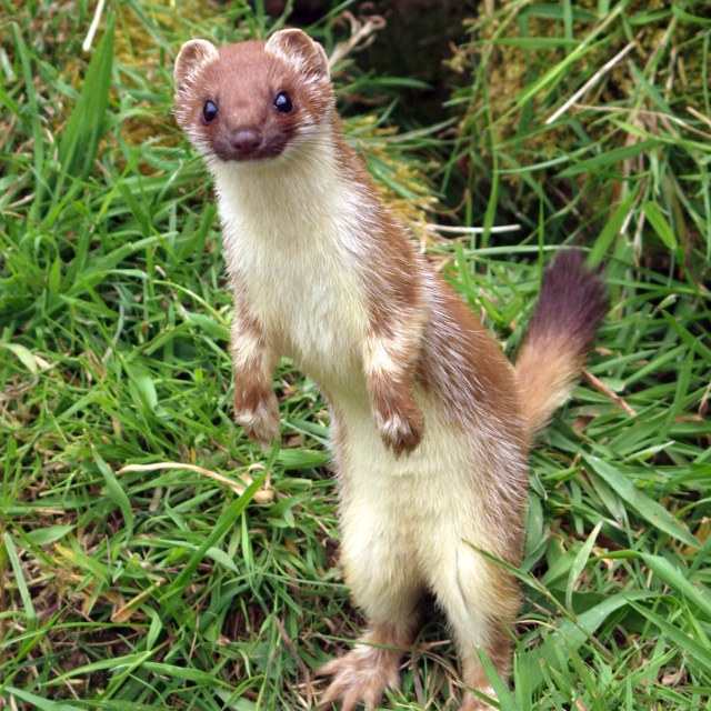 """Stoat alert!"" stock image"
