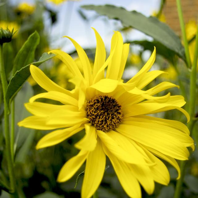 """Yellow dahlia"" stock image"