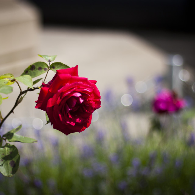 """A single red rose"" stock image"