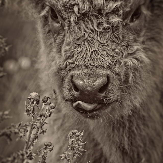 """Highland Calf"" stock image"