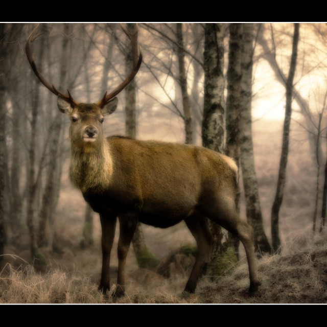 """Highland Stag 1"" stock image"