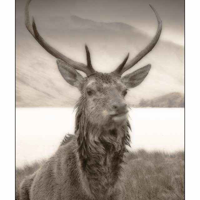 """Highland Stag 3"" stock image"