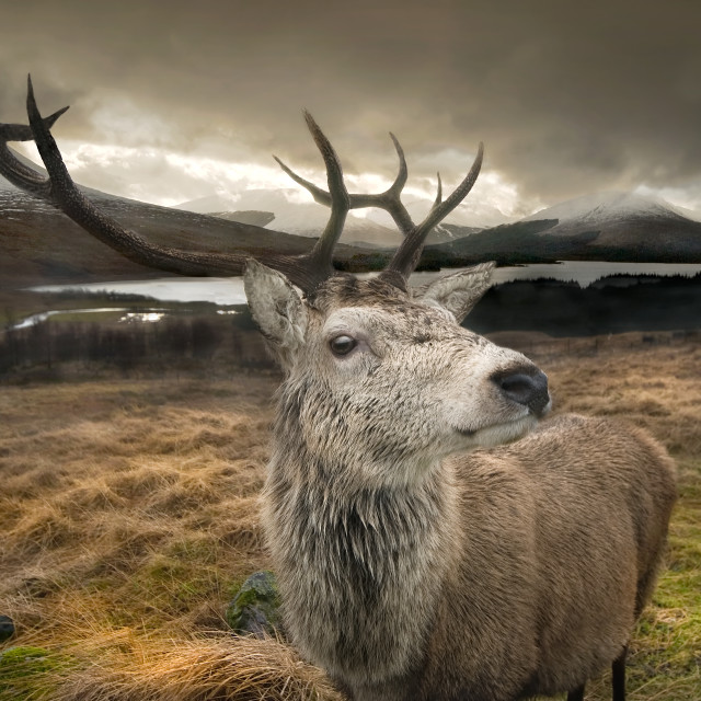 """Highland Stag"" stock image"