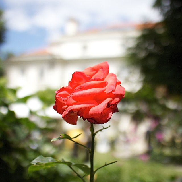 """Rose in the British Residency, Sofia, Bulgaria"" stock image"