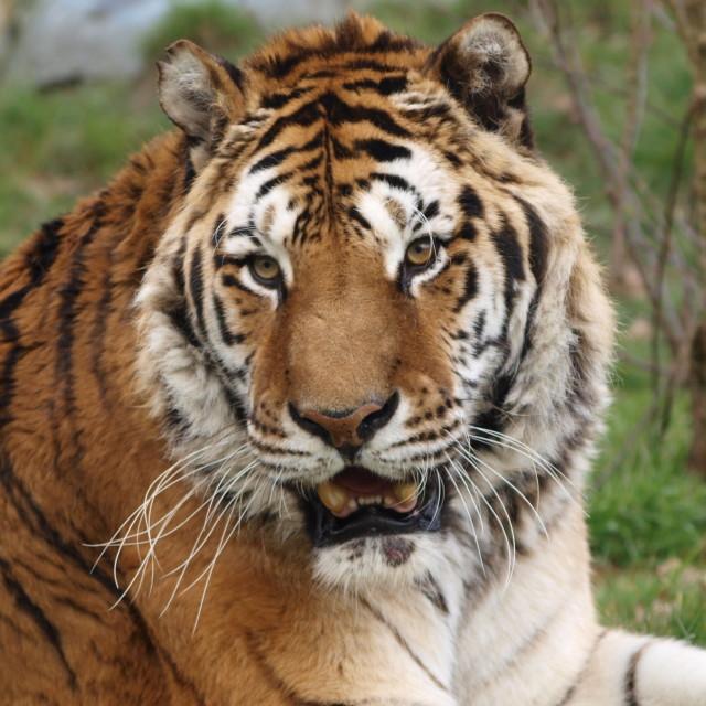 """Siberian Tiger"" stock image"