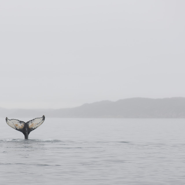 """""""Humpback whales"""" stock image"""
