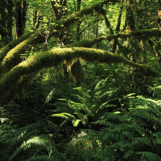 """Rain Forest"" stock image"