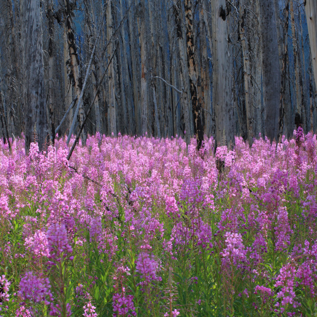 """""""Fireweed wildflowers in a burnt forest"""" stock image"""