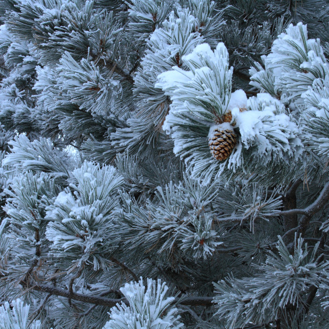 """Fresh snow on pine tree"" stock image"