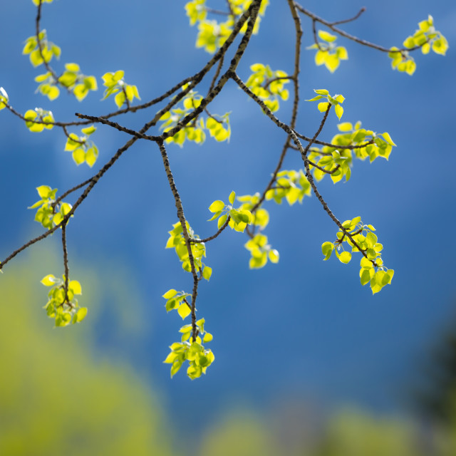 """New aspen tree leaves"" stock image"