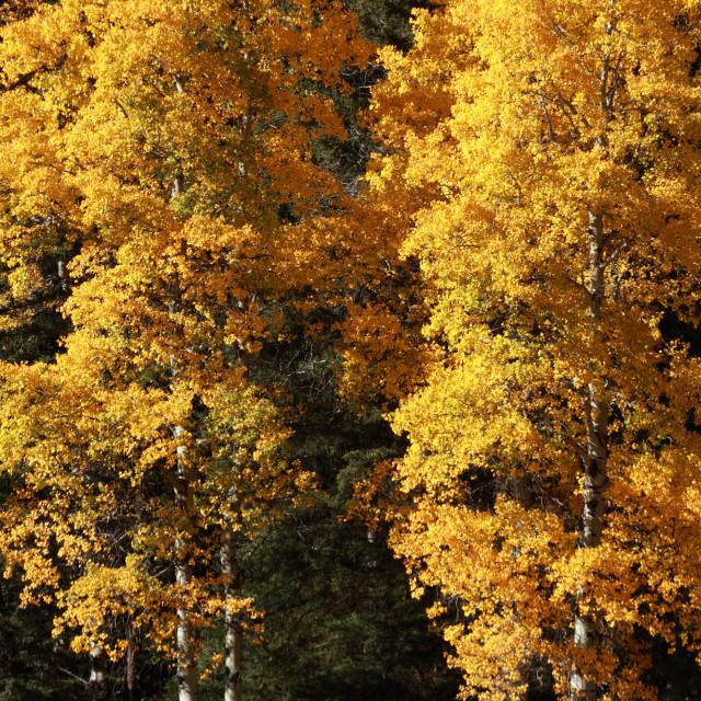"""""""Autumn Poplar Trees"""" stock image"""