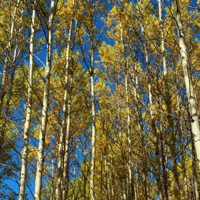 """""""Autumn Trees and Blue Sky"""" stock image"""