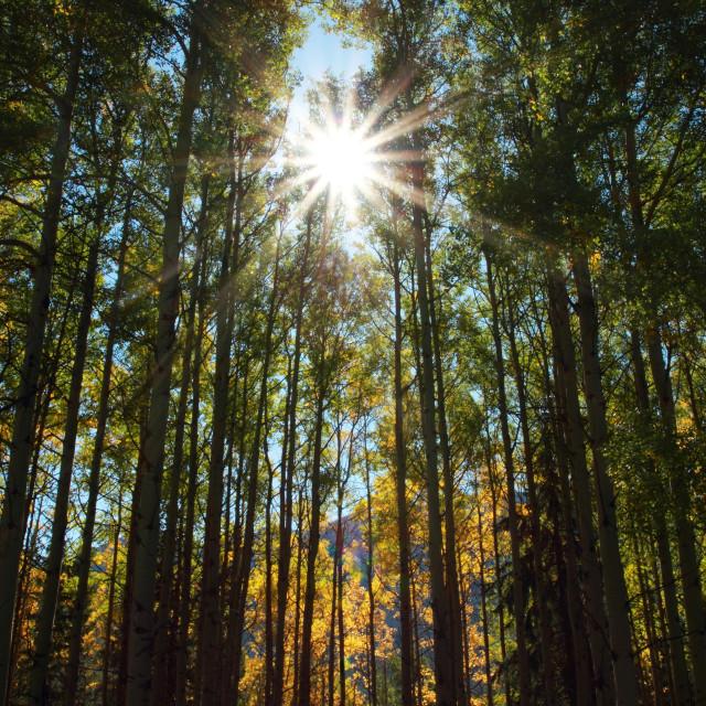 """""""Autumn Aspen Trees and Sun"""" stock image"""