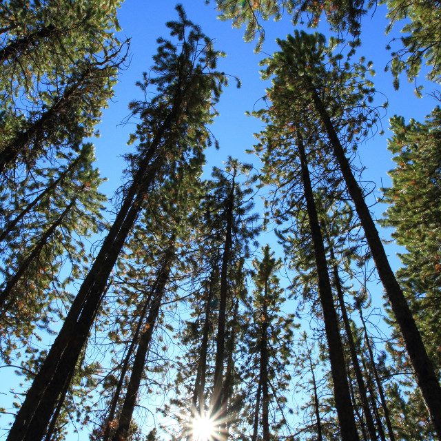 """Pine Trees with Sun"" stock image"