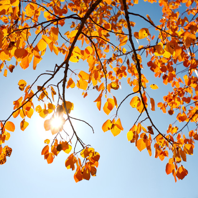 """""""Autumn Aspen Poplars"""" stock image"""