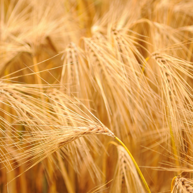 """Ear of Barley on field"" stock image"